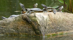 Stock Video Footage of Red-eared terrapins sunbathing on a rock in a pond.(TERRAPIN--50)