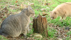 Cats sexual behaviour Stock Footage