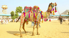 Decorated camel Stock Footage
