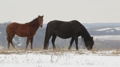 Horses grazing on snowy high mountain pasture Stock Footage