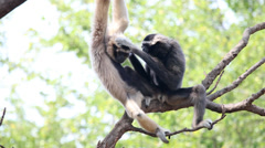 Pileated gibbon - stock footage