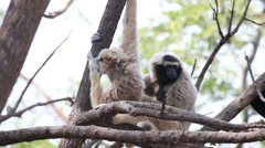 Pileated gibbon Stock Footage