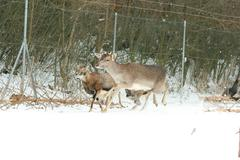 herd of deer together in winter - stock photo