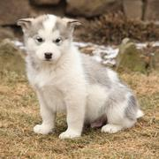 Stock Photo of alaskan malamute puppy in front of some snow