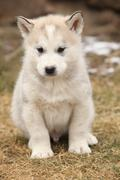 Alaskan malamute puppy in front of some snow Stock Photos