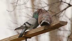 Doves sexual behaviour Stock Footage