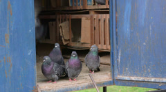 Domestic doves relaxing in the dovecote Stock Footage