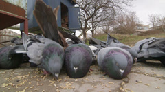 Dovecote doves feeding on the ground Stock Footage