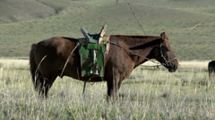 Mongolian nomads horse standing in the field with other horses Stock Footage
