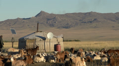 Nomad walking between the livestock Stock Footage