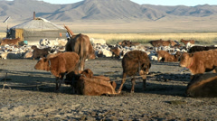 Cows tied together, sheeps and goats in front of a Yurt (Ger) Stock Footage