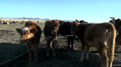 Young cows tied to a rope in the morning Stock Footage