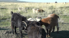 Tilt pan from goats to nomads people working with the horses Stock Footage