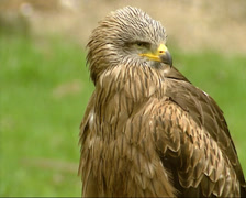 Black Kite, milvus migrans Stock Footage