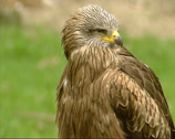 Stock Video Footage of Black Kite, milvus migrans