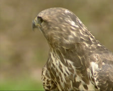 Common Buzzard (Buteo buteo) side view Stock Footage