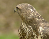 Stock Video Footage of Common Buzzard (Buteo buteo) side view