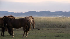 Horses with on the background yurts (ger) Stock Footage