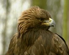 Golden Eagle, Aquila chrysaetos - close up Stock Footage