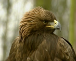 Stock Video Footage of Golden Eagle, Aquila chrysaetos - close up