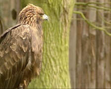 Golden Eagle, Aquila chrysaetos - side view Stock Footage