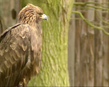 Stock Video Footage of Golden Eagle, Aquila chrysaetos - side view