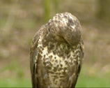 Stock Video Footage of Common Buzzard (Buteo buteo) perched