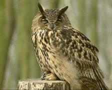Eurasian Eagle-Owl (bubo bubu) Stock Footage