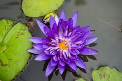 lotus flowers are mauve - stock photo
