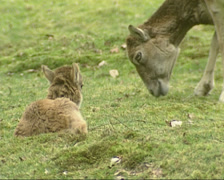 Mouflon ewe with lamb (Ovis aries orientalis) Stock Footage