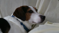 Resting Doggy - stock footage