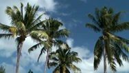 Stock Video Footage of Cayman Islands, treetops of Palm trees are moving in the wind