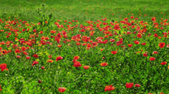 MS PAN Meadow with blooming Poppy flowers / Tuscany,Italy Stock Footage
