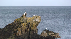 Seagulls on rock by the sea, Anglesey Stock Footage