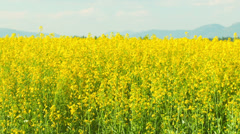 A open field with yellow flowers flowing in the breeze Stock Footage