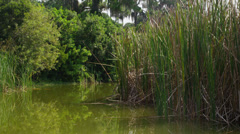 USA, Florida, Venice, Reed bed - stock footage