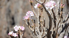 Bottle tree flowers. Socotra island, Yemen Stock Footage