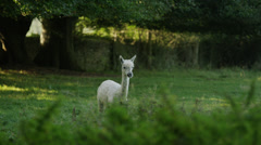 Medium shot of llama walking in field / Winsley, England, United Kingdom Stock Footage