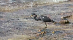Cayman Islands, a heron is walking through clear water and is catching fish Stock Footage