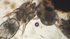 Ear Mites Breeding Stock Footage