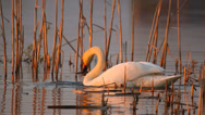 Stock Video Footage of Mute swan searching for material for its nest in the evening
