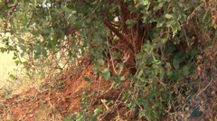 Mongoose pour out from under a bush in Africa Stock Footage