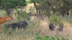 Warthogs are surprised by an impala running by Stock Footage