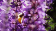 Stock Video Footage of Close up of honey bee pollinating purple flowers / Utah, United States