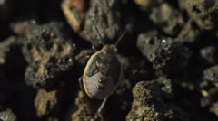 Close up tracking high angle shot of camouflaged beetle on volcanic rocks / - stock footage