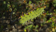 Stock Video Footage of Close up of caterpillar hanging on branch / Arco, Idaho, United States