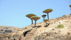 Dragon trees. Socotra island, Yemen Stock Footage