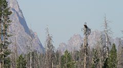 Medium shot of birds flying from trees near mountains / Redfish Lake, Idaho, Stock Footage