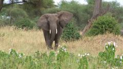 Elephant lumbers towards viewer and eats Stock Footage