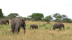 Baby elephany finally successfully swings trunk to eat Stock Footage